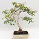 Zimmer Bonsai - Australische Kirsche - Eugenia uniflora - 1/5