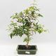 Zimmer Bonsai - Australische Kirsche - Eugenia uniflora - 1/4