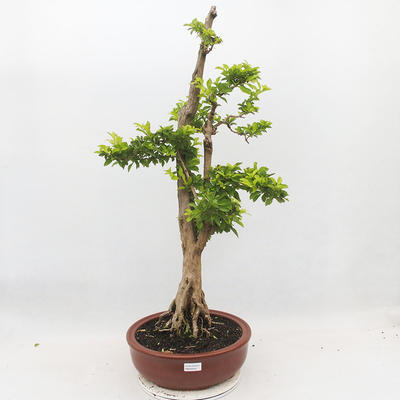 Indoor-Bonsai - Duranta erecta Aurea - 1