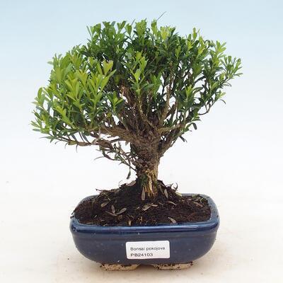 Pinus thunbergii - Thunbergova-Kiefer - 1