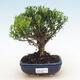 Pinus thunbergii - Thunbergova-Kiefer - 1/2