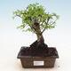 Indoor bonsai - Ulmus parvifolia - Small-leaved elm - 1/3