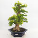 Indoor-Bonsai - Duranta erecta Aurea - 1/6