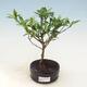 Innenbonsai - Gardenia jasminoides-Gardenia - 1/2