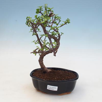 Indoor-Bonsai - Portulakaria Afra - Tlustice - 1