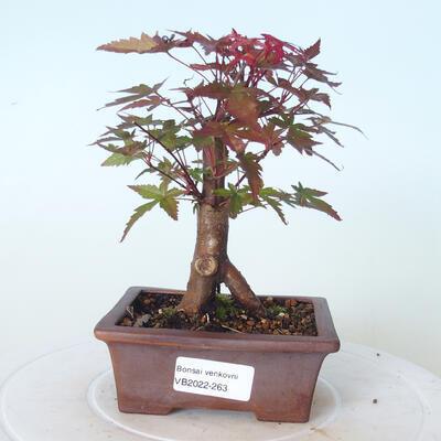 Outdoor-Bonsai - Ahorn palmatum DESHOJO - Ahorn palmate - 1