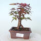 Outdoor-Bonsai - Ahorn palmatum DESHOJO - Ahorn palmate - 1/5