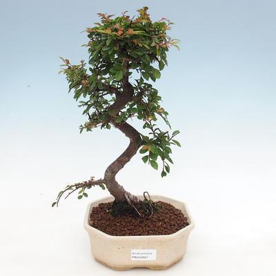 Indoor-Bonsai - Ulmus parvifolia - Kleinblättrige Ulme - 1