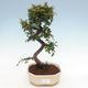 Indoor-Bonsai - Ulmus parvifolia - Kleinblättrige Ulme - 1/3