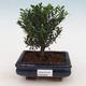 Zimmer Bonsai - Buxus harlandii - Kork Buchsbaum - 1/4