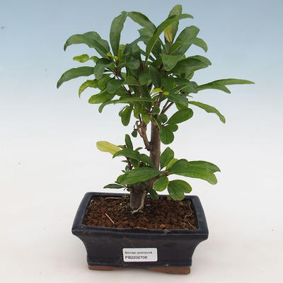 Indoor Bonsai-PUNICA Granatum Nana-Granatapfel - 1