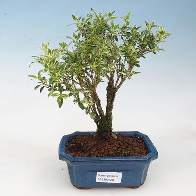 Indoor-Bonsai - Serissa foetida Variegata - Baum der tausend Sterne