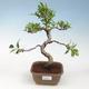 Indoor-Bonsai - Ficus retusa - kleinblättriger Ficus - 1/2