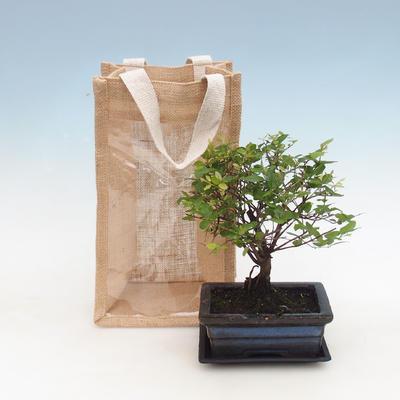 Zimmer Bonsai in einer Geschenktüte - JUTA, Sageretia thea - Sageretia thea