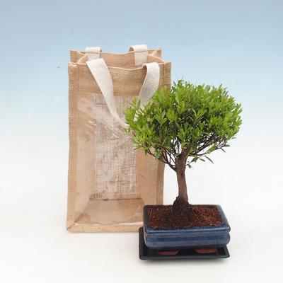 Zimmer Bonsai in einer Geschenktüte - JUTA