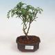 Indoor Bonsai - Zantoxylum piperitum - Pfefferkorn - 1/5