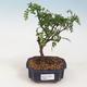 Indoor-Bonsai - Zantoxylum piperitum - Pfefferminze - 1/5