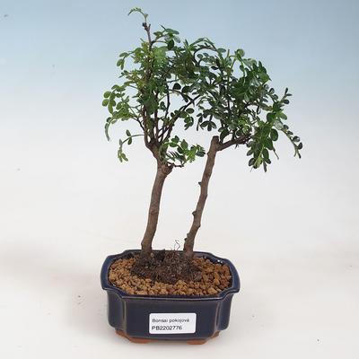 Indoor-Bonsai - Zantoxylum piperitum - Pfefferminze - 1
