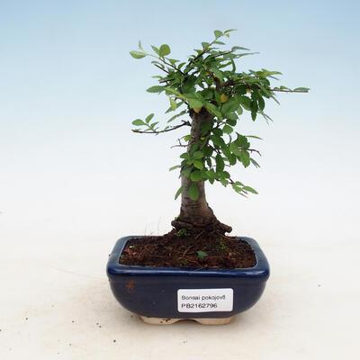 Zimmerbonsai - Ulmus parvifolia - Kleinblättrige Ulme - 1