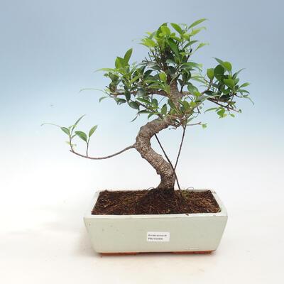 Zimmerbonsai - Ficus kimmen - kleinblättriger Ficus