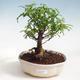 Indoor-Bonsai - Zantoxylum piperitum - Pfefferkorn - 1/4