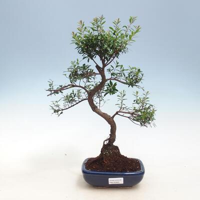 Zimmerbonsai - Syzygium - Piment - 1