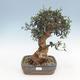 Indoor-Bonsai - Olea europaea sylvestris - Europäisches kleinblättriges Olivenöl - 1/3