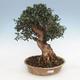 Indoor-Bonsai - Olea europaea sylvestris - Europäisches kleinblättriges Olivenöl - 1/4