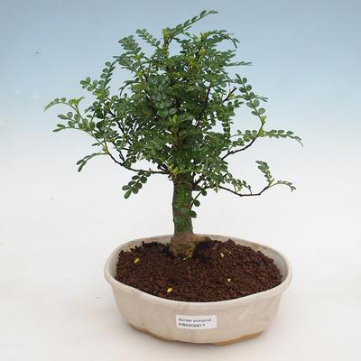 Indoor-Bonsai - Zantoxylum piperitum - Pfefferkorn - 1