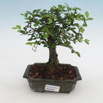 Indoor Bonsai-Ulmus Parvifolia-Kleinblättrige Ulme