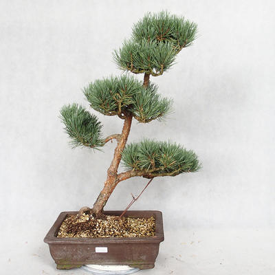 Außenbonsai - Pinus sylvestris Watereri - Waldkiefer VB2019-26852 - 1