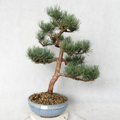 Außenbonsai - Pinus sylvestris Watereri - Waldkiefer VB2019-26859 - 1