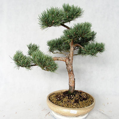 Außenbonsai - Pinus sylvestris Watereri - Waldkiefer VB2019-26868 - 1