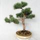 Außenbonsai - Pinus sylvestris Watereri - Waldkiefer VB2019-26868 - 1/4