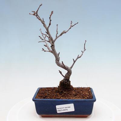 Außenbonsai - Pinus sylvestris Watereri - Waldkiefer VB2019-26870 - 1