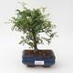Indoor-Bonsai - Zantoxylum piperitum - Pfefferminze - 1/4