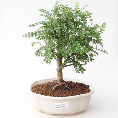 Indoor-Bonsai - Zantoxylum piperitum - Pfefferkorn - 1