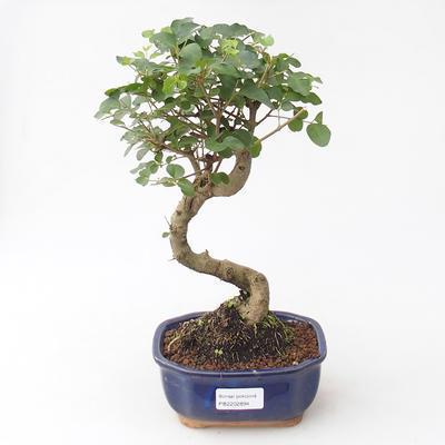 Indoor Bonsai -Ligustrum chinensis - Vogelschnabel