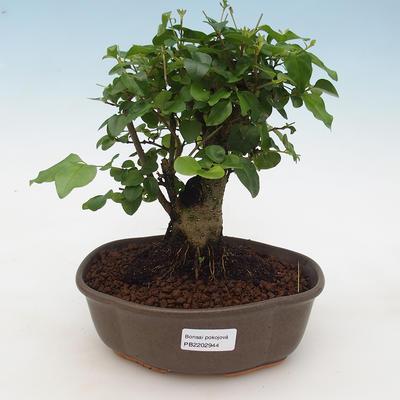 Indoor Bonsai -Ligustrum chinensis - Vogelschnabel - 1