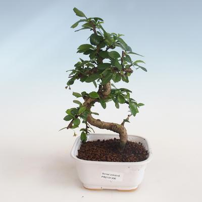Innenbonsai - Carmona macrophylla - Tee fuki PB2191306 - 1