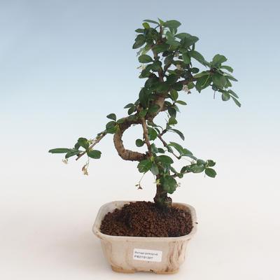 Innenbonsai - Carmona macrophylla - Tee fuki PB2191307 - 1
