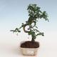 Innenbonsai - Carmona macrophylla - Tee fuki PB2191307 - 1/5