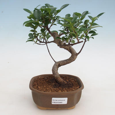 Indoor-Bonsai - Ficus retusa - kleinblättriger Ficus - 1