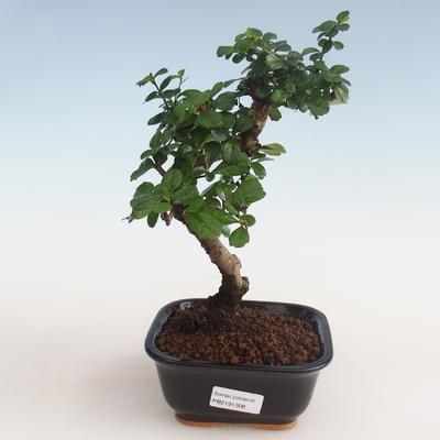 Innenbonsai - Carmona macrophylla - Tee fuki PB2191308 - 1