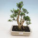 Innenbonsai - Buxus harlandii - Korkbuchsbaum - 1/4