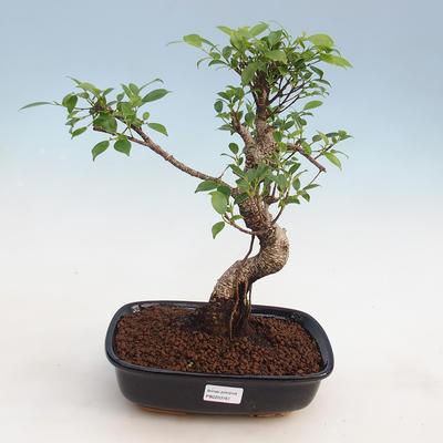 Indoor-Bonsai - Ficus kimmen - kleinblättriger Ficus