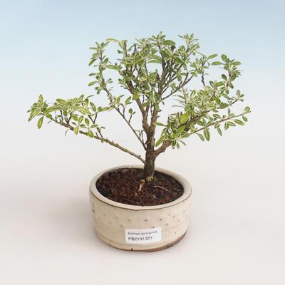 Indoor Bonsai - Serissa foetida Variegata - Baum der tausend Sterne PB2191320 - 1