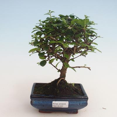 Innenbonsai - Carmona macrophylla - Tee fuki 412-PB2191337 - 1