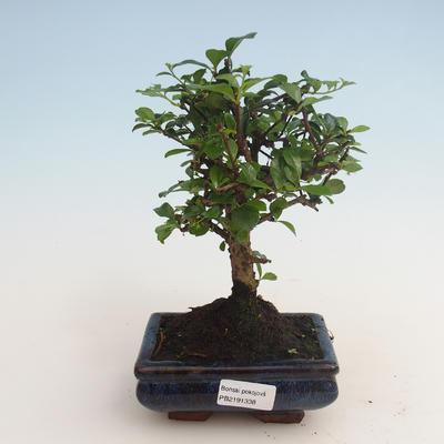 Innenbonsai - Carmona macrophylla - Tee fuki 412-PB2191338 - 1