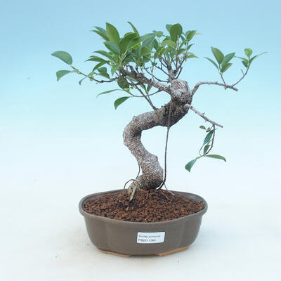 Indoor-Bonsai - Ficus retusa - kleiner Ficus - 1